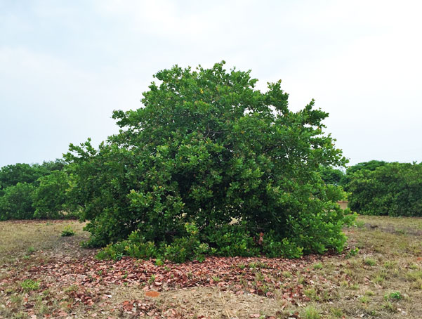 A 10-year-old cashew-tree